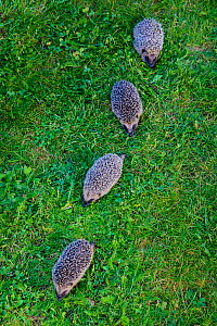 Group of four Common hedgehogs (Erinaceus europaeus) in garden, France. Controlled conditions. - Klein & Hubert