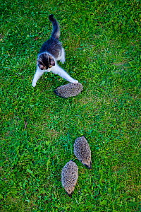 Kitten trying to play with young Common hedgehogs (Erinaceus europaeus) in garden. France. Controlled conditions. - Klein & Hubert