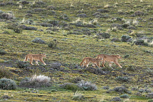 Puma (puma concolor) teaching her 7-month male and female cubs how to hunt, Torres del Paine National Park, Chile, Latin America.  -  Kristel  Richard