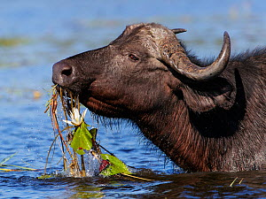African buffalo (Syncerus caffer) feeding on water lillies in Chobe River, Chobe National Park, Botswana. May.  -  Tony Heald