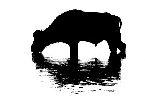 African buffalo   (Syncerus caffer) drinking in Chobe River, Chobe National Park, Botswana, May.  Digitally enhanced silhouette  -  Tony Heald