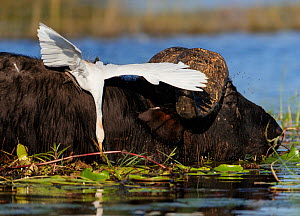 African buffalo (Syncerus caffer) in water with Cattle egret  (Bubulcus ibis) catching an insect, Chobe National Park, Botswana. May. - Tony Heald