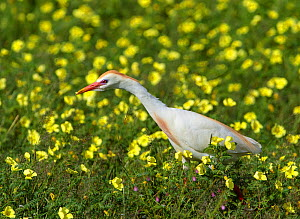 Cattle egret  (Bubulcus ibis) in breeding plumage, looking for insects amongst Devilsthorn flowers, Etosha National Park, Namibia. - Tony Heald