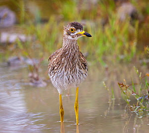Water thick-knee (Burhinus vermiculatus) Etosha National Park, Namibia, March. - Tony Heald