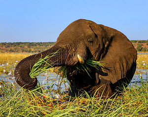 African elephant (Loxodonta africana) feeding on grasses, Chobe River, Chobe National Park,  Botswana. May.  -  Tony Heald