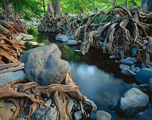 Deciduous forest with Sabinos (Taxodium mucrunatum) with tangled roots, bank of the Rio Cuchujaqui Sierra Alamos, Mexico  -  Jack Dykinga