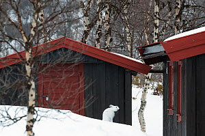 Mountain hare (Lepus timidus) yawning in front of a mountain cabin. Vauldalen, Norway.  -  Orsolya Haarberg