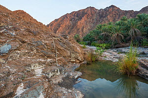 Date palm plantation by a small river in the Hajar Mountains. United Arab Emirates. November 2015.  -  Orsolya Haarberg