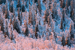 Frost-covered Norway spruce (Picea abies), and Mountain birch (Betula pubescens) forest. Muddus National Park, Laponia World Heritage Site, Swedish Lapland, Sweden. December 2016.  -  Orsolya Haarberg