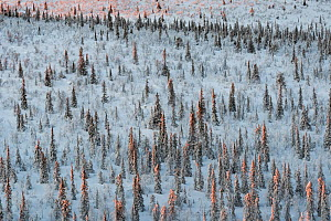 Frost-covered Norway spruce (Picea abies), forest. Muddus National Park, Laponia World Heritage Site, Swedish Lapland, Sweden. December 2016.  -  Orsolya Haarberg
