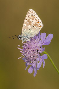 Male chalkhill blue butterfly (Lysandra coridon) with wings closed resting on Devils-bit scabious (Succisa pratensis), Hatch Hill, Somerset, UK. August 2016. - Ross Hoddinott