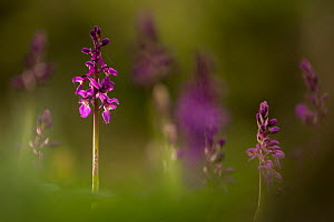 Early-purple orchids (Orchis mascula), Broxwater, Cornwall, UK. April 2017.  -  Ross Hoddinott