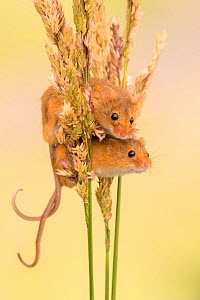 Harvest mice (Micromys minutus) on grass stems, Devon, UK. July 2016. Captive.  -  Ross Hoddinott