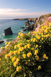 Kidney vetch (Anthyllis vulneraria) flowering on cliff tops, Bedruthan Steps, near Newquay, north Cornwall, UK. April 2017.  -  Ross Hoddinott