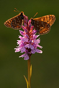 Marsh fritillaries (Euphydryas aurinia) resting on spotted heath orchid (Dactylorhiza maculata), Dunsdon, near Holsworthy, Devon, UK. June 2016.  -  Ross Hoddinott