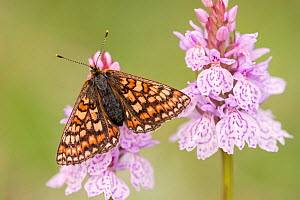 Marsh fritillary butterfly (Euphydrayas aurinia) on Spotted heath orchid (Dactylorhiza maculata), Dunsdon, near Holsworthy, Devon, UK. June 2017.  -  Ross Hoddinott