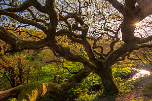 Ancient oak tree (Quercus robur), Marsland Mouth, Devon Wildlife Trust, Devon, UK. April 2017.  -  Ross Hoddinott