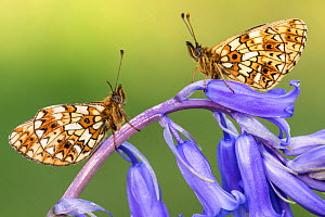 Two small pearl-bordered fritillary butterflies (Boloria selene) resting on bluebell, Marsland mouth, North Devon, UK. May 2017. - Ross Hoddinott