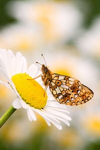 Small pearl-bordered fritillary (Boloria selene) butterfly on oxeye daisy (Leucanthemum vulgare), Marsland mouth, North Devon, UK. May 2017.  -  Ross Hoddinott