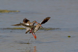 Common redshank (Tringa totanus) male attempting to mate with female who is taking off, Vendee, France, April,  -  Loic  Poidevin