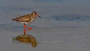 Common redshank (Tringa totanus) in water foraging, Vendee, France, April,  -  Loic  Poidevin