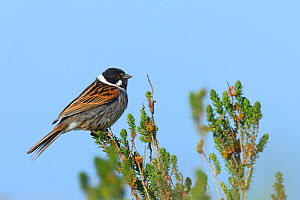 Common reed bunting (Emberiza schoeniclus) male on branch,   Vendee, France, April  -  Loic  Poidevin