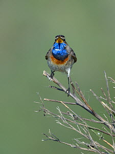 Bluethroat (Luscinia svecica) male on a branch, Vendee, France, April  -  Loic  Poidevin
