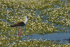 Black-winged stilt (Himanthopus himanthopus) in water with Common water-crowfoot (Ranunculus aquatilis)  flowers,   Vendeen Marsh, France, April - Loic  Poidevin