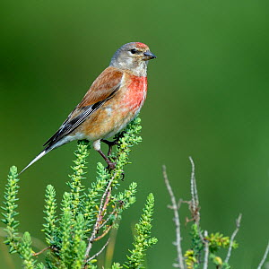 Common linnet (Carduelis cannabina) on a branch of alkali seepweed, Vendee, France, May - Loic  Poidevin