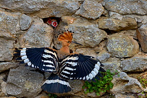 Eurasian hoopoe (Upupa epops) at nest in stone wall with hungry chicks gaping, Vendee, France, June - Loic Poidevin