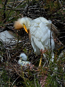 Western Cattle Egret (Bubulcus ibis) adult on the nest with chick, Camargue, France, May - Loic  Poidevin