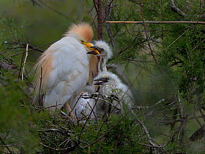 Western Cattle Egret (Bubulcus ibis) adult on the nest with chicks, one grasping adult's beak, Camargue, France, May - Loic  Poidevin
