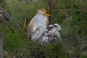 Western Cattle Egret (Bubulcus ibis) adult on the nest with chicks, Camargue, France, May - Loic  Poidevin