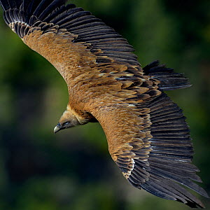 Griffon Vulture (Gyps fulvus) flying, Remuzat, Drome, France, May  -  Loic  Poidevin