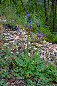 Meadow clary (Salvia pratensis) Gorges du Tarn,  France, May  -  Loic  Poidevin