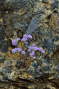 Candytuft flowers (Iberis) flowers, Gorges du Tarn,  France,  May  -  Loic  Poidevin