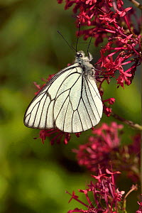 Black -veined white (Aporia crataegi) butterfly on Red valerian (Centranthus ruber) flower, Vendee, France,  May, - Loic  Poidevin