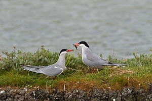 Common tern (Sterna hirundo) offering fish to mate,  Marais Breton, Vendee,  France,  May  -  Loic  Poidevin
