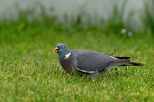 Common wood pigeon (Columba palumbus) in grass, Vendee, France, May, - Loic  Poidevin