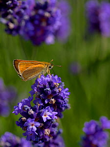 Lulworth skipper (Thymelicus acteon) on flower of Lavender  Vendee,  France, May - Loic  Poidevin