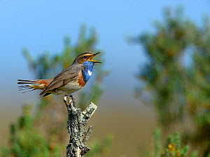 Bluethroat (Luscinia svecica) singing on a branch, Vendee, France, April  -  Loic  Poidevin