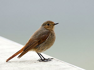 Black redstart (Phoenicurus ochruros) female on a wall  Vendee, France, April - Loic  Poidevin