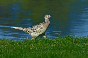 Common pheasant (Phasianus colchicus) in grass, Vendee, France, April - Loic  Poidevin