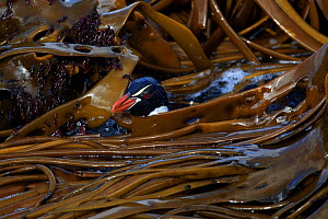 Snares crested penguin (Eudyptes robustus) amongst Bull Kelp (Durvillaea sp.), Subantarctic Snares Islands (Tine Heke), New Zealand. January. Editorial use only.  -  Richard Robinson
