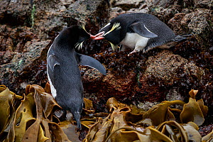 Snares crested penguin (Eudyptes robustus) amongst Bull Kelp (Durvillaea sp.), Subantarctic Snares Islands (Tine Heke), New Zealand. January. - Richard Robinson