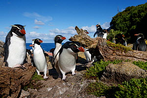 Snares crested penguin (Eudyptes robustus), Snares (Tine Heke) Sub Antarctic Island Group, Southern Ocean, New Zealand. December 2016. Editorial use only.  -  Richard Robinson