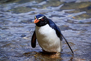 Fiordland crested penguin (Eudyptes pachyrhynchus) returning to the Harrison Cove colony after foraging in Milford Sound, New Zealand. October. Editorial use only.  -  Richard Robinson