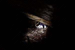 Fiordland crested penguin (Eudyptes pachyrhynchus) nesting in cave, Harrison Cove colony in the Milford Sound, New Zealand. October. Editorial use only.  -  Richard Robinson