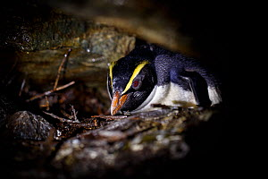 Fiordland crested penguin (Eudyptes pachyrhynchus) nests in a cave, Harrison Cove colony in the Milford Sound, New Zealand. October. Editorial use only.  -  Richard Robinson