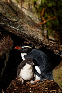 Fiordland crested penguin (Eudyptes pachyrhynchus), Harrison Cove colony in the Milford Sound, New Zealand. October. Editorial use only.  -  Richard Robinson